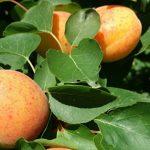 Apricot-03