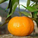 mandarin-01