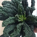 black-cabbage