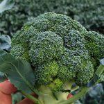 broccolo-01
