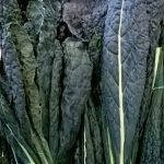 black-cabbage04