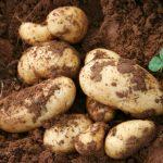 potato-01
